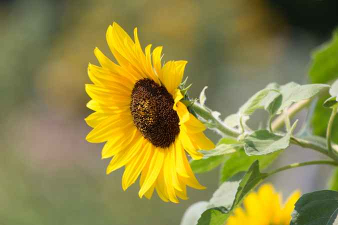 nature-sunflower-plants-summer-597039.jpeg