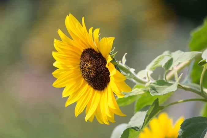 nature-sunflower-plants-summer-597039.jpeg